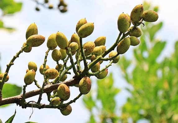 Pistachios tree grown in Spain