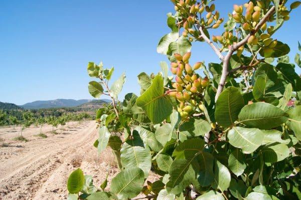Pistachos ecológicos, más naturales y saludables 1