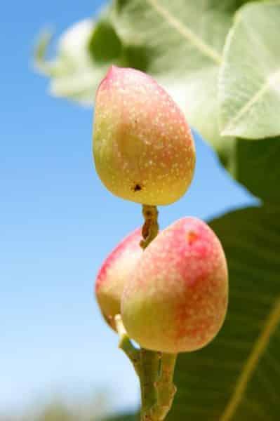 Pistachos ecológicos fruto