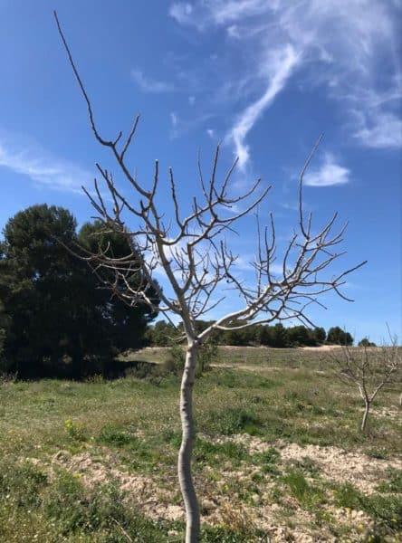 Apariencia arbol del pistacho en invierno