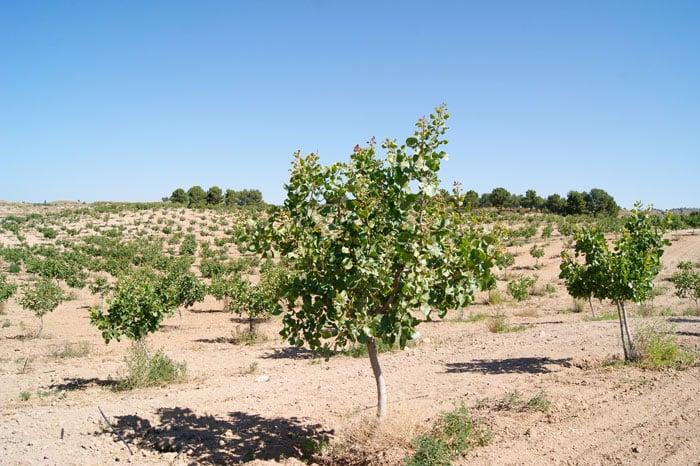Apariencia arbol del pistacho