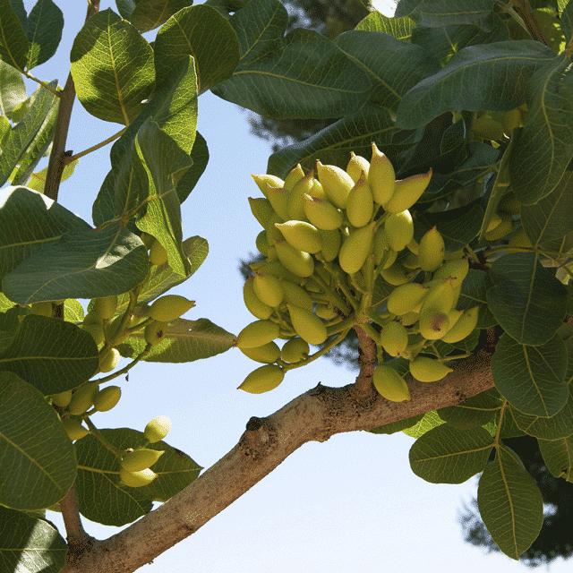 Conoces el sabor de los pistachos crudos