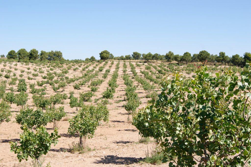 El clima mediterraneo favorece el cultivo de pistachos
